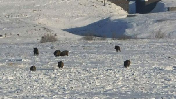 Kars'ta aç kalan domuz sürüsü köye indi