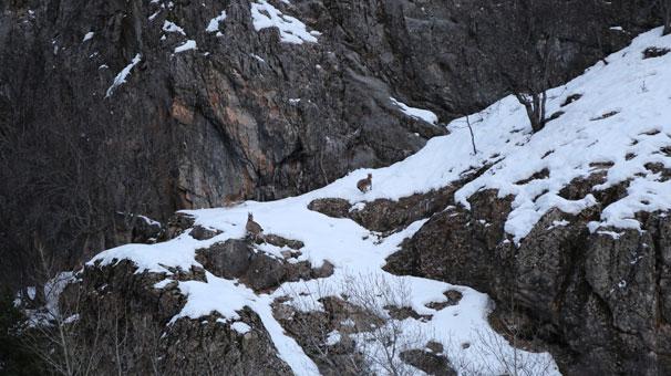 Tunceli'de görüntülendiler…  2 metreyi aşan kar onları da vurdu!