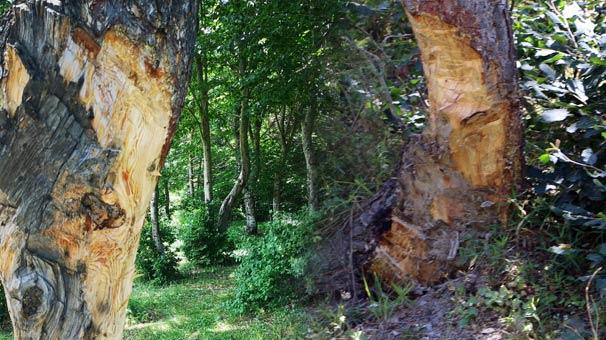 Gören isyan etti! Ağaçları bu hale getirdiler